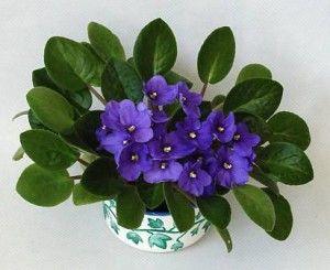 violeta-africana-consejos-y-cuidados